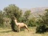 Un chameau